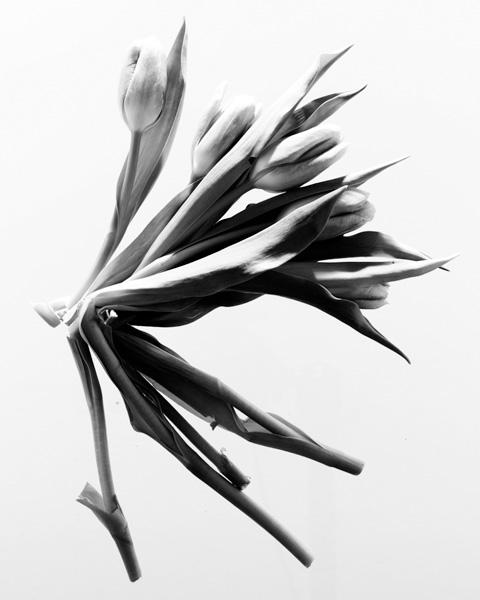 tulip-021_2